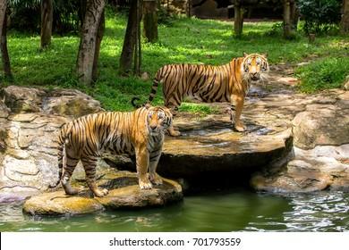 The big Bengal tigers