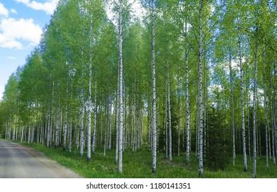 big birch wood in rural finland
