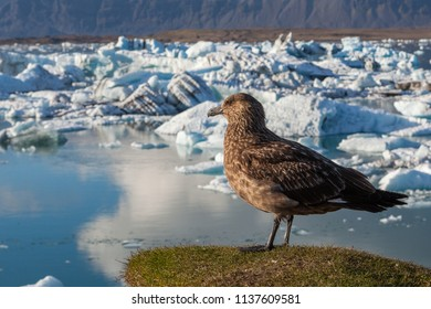 Big bird looking on the icebergs in Jokulsarlon glacier lagoon. Global warming and climate change concept with melting ice. Base of the Vatnajokull glacier at Jokulsarlon, Iceland.