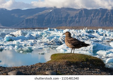 Big bird standing on a hill above icebergs in Jokulsarlon glacier lagoon. Global warming and climate change concept with melting ice. Base of the Vatnajokull glacier at Jokulsarlon, Iceland.