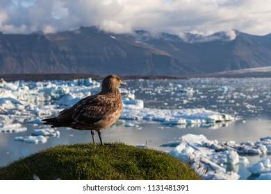 Big bird standing on a tussock above icebergs in Jokulsarlon glacier lagoon. Global warming and climate change concept with melting ice. Base of the Vatnajokull glacier at Jokulsarlon, Iceland.