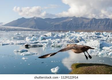 Big bird taking off above icebergs in Jokulsarlon glacier lagoon. Base of the Vatnajokull glacier at Jokulsarlon, Iceland.