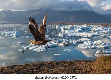 Big bird taking wing above icebergs in Jokulsarlon glacier lagoon. Base of the Vatnajokull glacier at Jokulsarlon, Iceland.