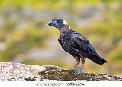 big bird Thick-billed raven on a rock. In Simien Seminen mountains, Ethiopia wildlife, Africa
