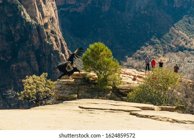 Big bird and tourists on Zion National Park in southwestern Utah near the town of Springdale, USA - december, 2019