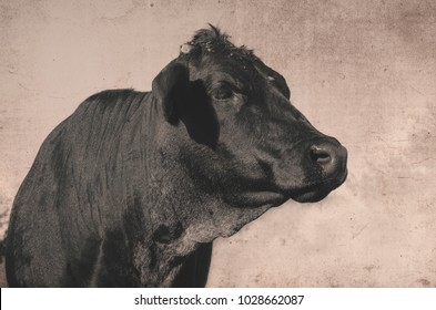 Big black angus cow profile image on rustic agriculture beef farm.  Cute antique style image of heifer.