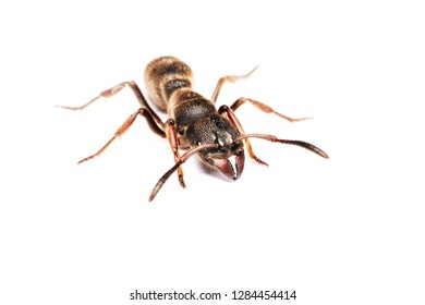 A Big black ant with giant opened ready to bite on white background.