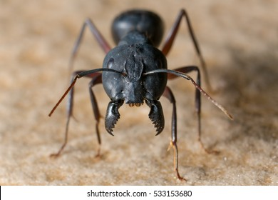 A Big black ant with giant opened jaws looking straight forewards at you. ready to bite.