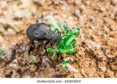 Big black beetle isolated on the soil background, macro photography