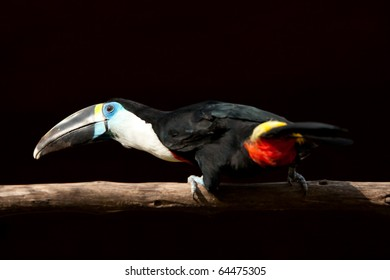 A Big Black Bird 55 Cm With A White Throat And A Big Red Bill With A Yellow Border It Is Also Called White Throated Toucan