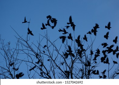 Big black bird crowd in blue october evening sky. Ravens flock silhouette flying and sitting on trees for halloween collage background. Group of crows socializing