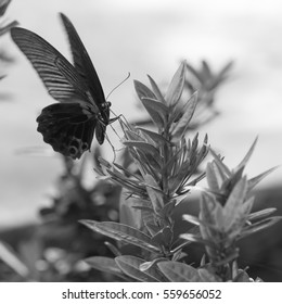 big black butterfly on a flower - black and white