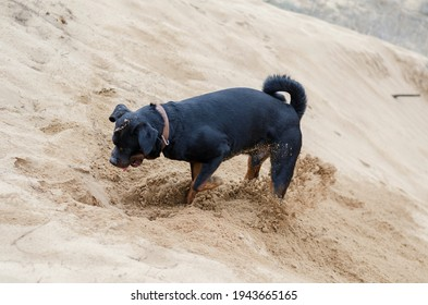 Big black dog digs hole in the yellow sand. Stately adult Rottweiler is interested in looking for something underground. Grains of sand fly from under the paws. Light rain is falling. Motion blur