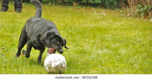 big black dog playing with soccer ball