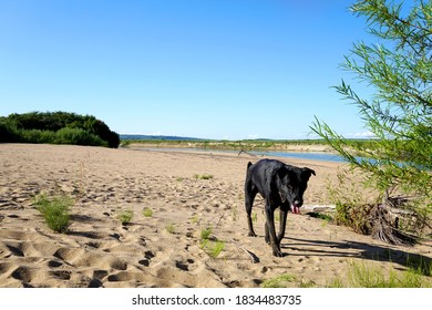 Big Black Dog walks wearily along the sand dunes from the side of the river