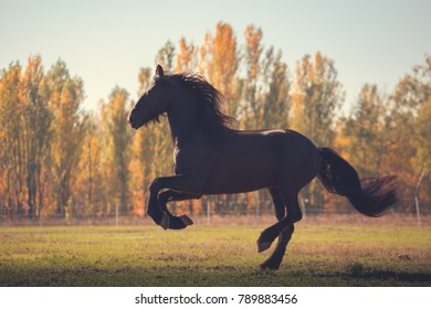 Big black Friesian horse galloping on the field on autumn background