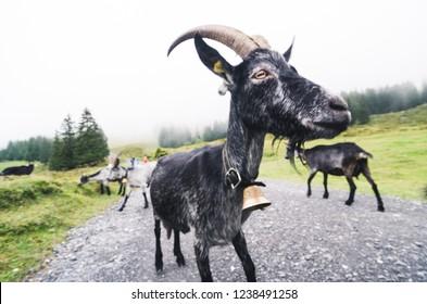 Big Black Goat, funny fisheye shot outdoors