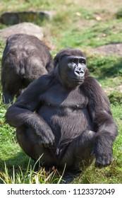 big black gorilla in apenheul monkey park in Apeldoorn , Holland.