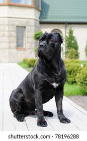 Big black guarding dog sitting an looking aside in yard of villa