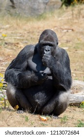 Big black hairy male gorilla monkey sit on grass and eat food with hands