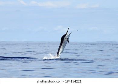 Big black marlin skyward