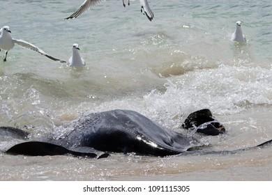 Big black Stingray swimming in the shallow shore at Hamelin Bay, Western Australia