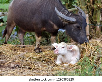 Big black thai buffalo has white baby, recessive ans dominant gene of Mendel law, uncommon color skin, rare albinism animal