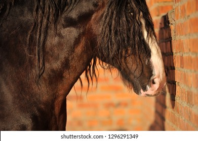 Big black Vladimir heavy draft horse stands toward the red brick wall outside in the sunshine. Horizontal, side view, portrait.