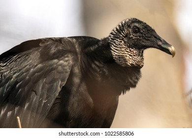 A Big Black Vulture Close Up on a limb in a cypress forest bordering the Hillsborough River in Lettuce Lake Park near Tampa Florida
