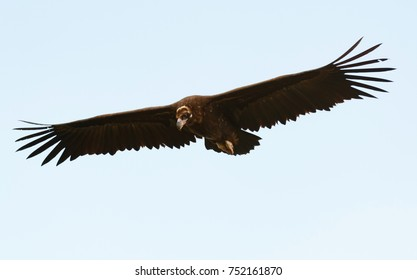 Big black vulture in flight with a cloudy sky of background
