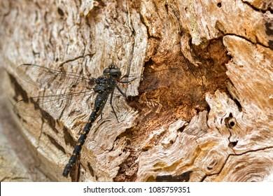 Big black Western darner dragonfly perching on dry tree bark (Austroaeschna anacantha)