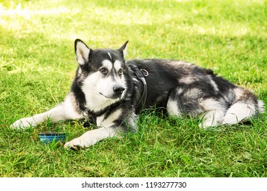 Big black and white husky dog drinking wate on grrass in the park. Lying dog
