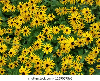 Big black-eyed Susan Rudbeckia hirta flowers field, top view of a lot of yellow daisy beautiful summer flowers from sunflower family with green stalks and leaves, yellow petals and dark brown center