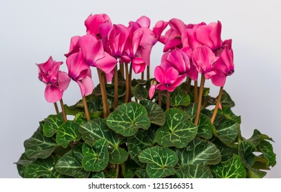 Big blooming cyclamen with pink flowers on a white background