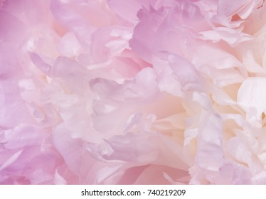 Big blooming pink peony. Flower texture. Backgroung.