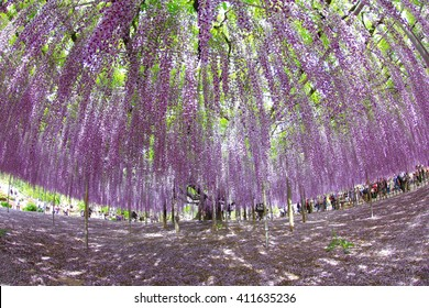 A big blooming purple wisteria tree with many drooping flowers in Ashikaga flower park Tochigi, Japan. Photoed with wide angle fish eye lens.