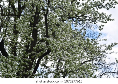 Big blossom white tree on sky background. Beautiful spring time photography.