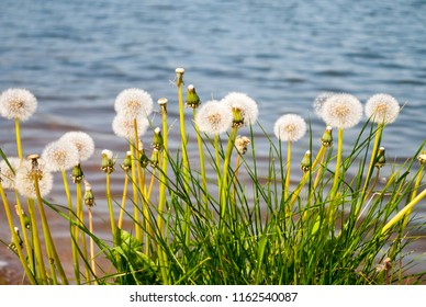 Big blowballs bunch near blue water. Huge white dandelions on blue water background.