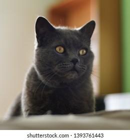 Big blue british shorthair tomcat