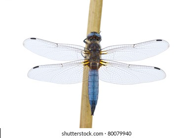 White Background Dragonfly Images, Stock Photos & Vectors   Shutterstock