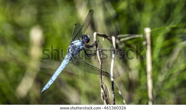 Big blue dragonfly macro closeup