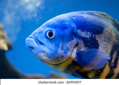 Big blue fish in aqurium. Underwater