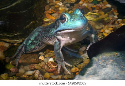 big blue frog wildlife environment conservation water pond