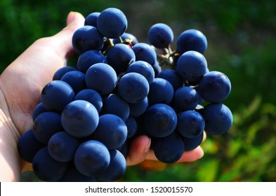 big blue grape called isabella on the vine close up