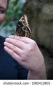 Big Blue Morpho Butterfly with closed wings sitting on a woman's hand