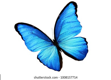 Big blue morpho butterfly isolated on white background