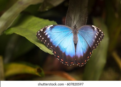 big Blue Morpho peleides Butterfly sitting on green leaves, insect in the nature habitat