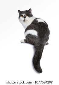 Big blue with white and bright orange eyes male British Shorthair cat sitting backwards and tail hanging down isolated on white background looking over shoulder at camera