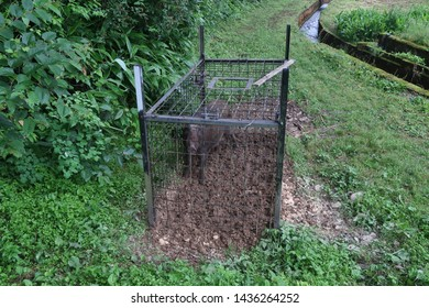 Big boar caught in a wolf's cage