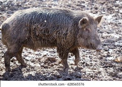 Big boar in the mud on the nature